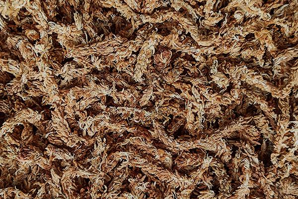 musgo Sphagnum seco