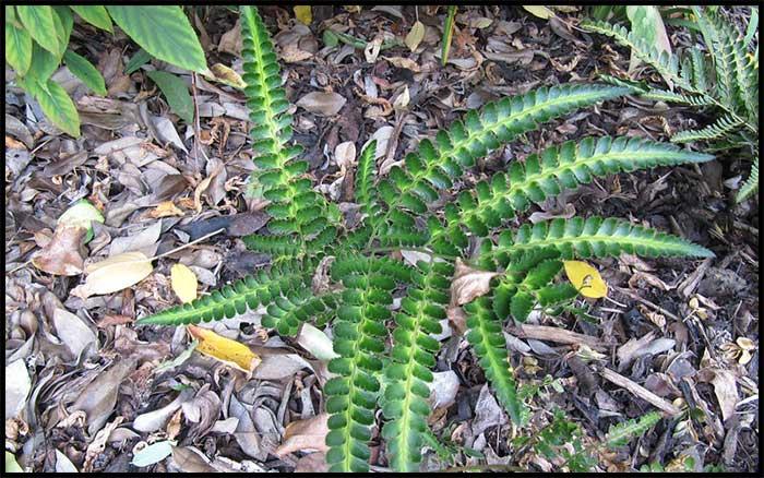 Variegated Shield Fern o East Indian holly fern