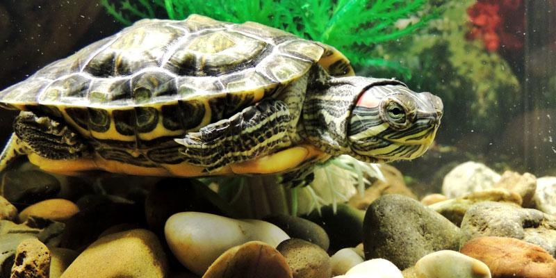 acuario tortuga casero